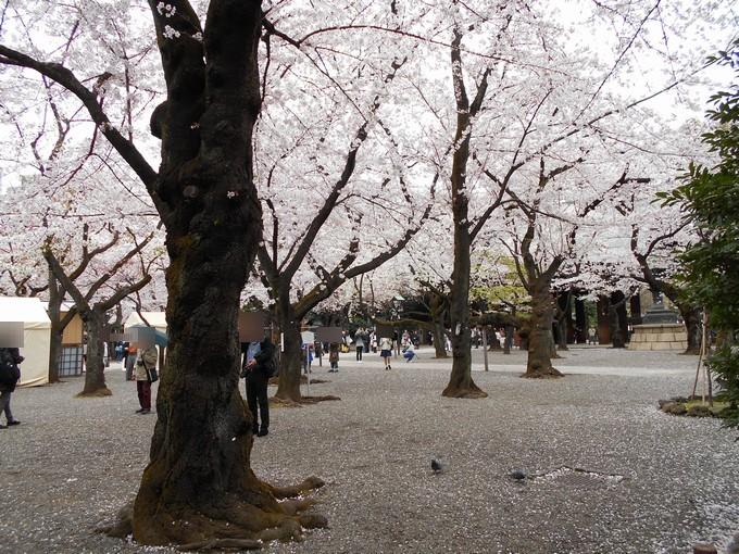 靖国神社-桜