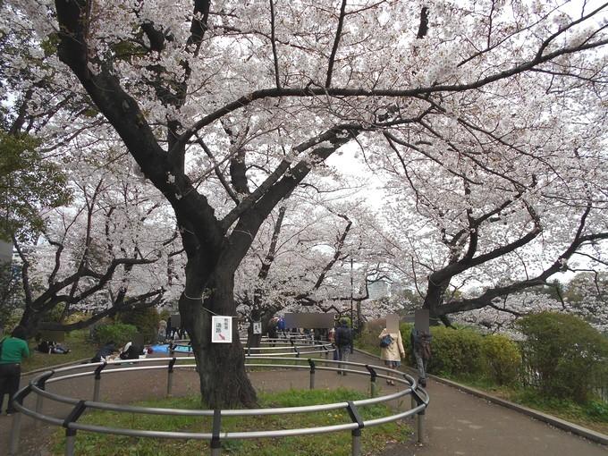 千鳥ヶ淵公園-桜