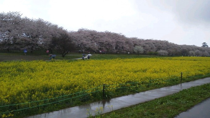 桜と菜の花-幸手権現堂堤