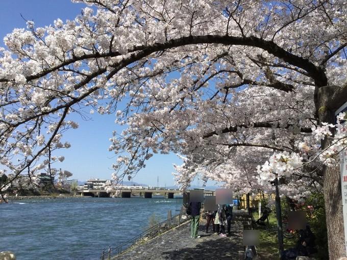 宇治川の桜-京都
