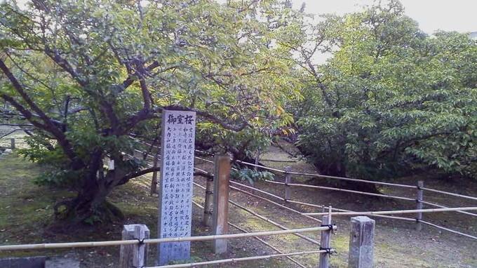御室桜-仁和寺