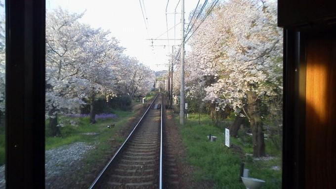 桜のトンネル-嵐電