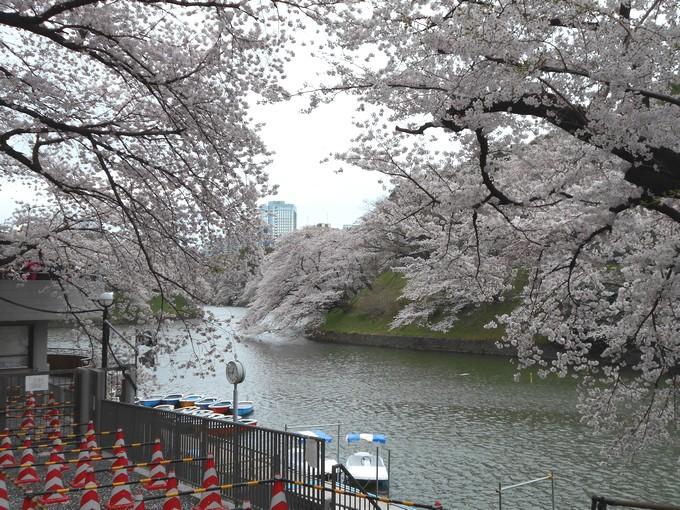 千鳥ヶ淵緑道-桜